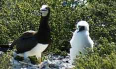 Brown Booby with Chick